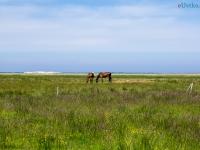 Konie na tle ruchomych wydm