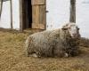 Kluki - owca